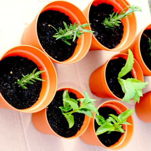 Cotta Pots, seedling pots